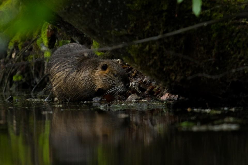 Bohemian Paradise nature wildlife beaver